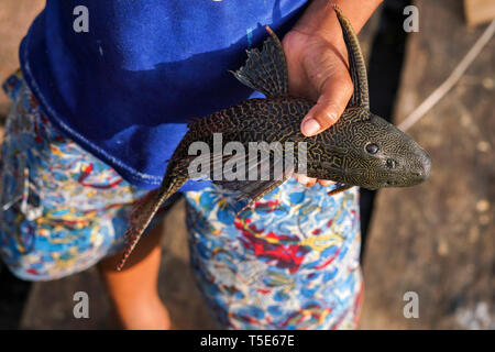 Peruvian boy holding an armored catfish in his hands - Stock Image