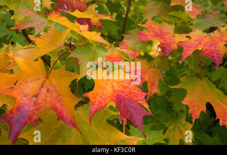 autumnal maple leaves, Winkworth Arboretum, Surrey, England - Stock Image