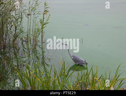 Alert common heron standing concentrated on fishing in Frederiksborg Castle Lake, Hillerød, Denmark, on a foggy autumn day. Ardea cinerea. Green algae - Stock Image