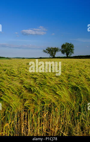 Cranbourne Chase Dorset 11th June 2018 Glorious evening on the Cranbourne Chase Clear blue skies with no haze Dorset .  © pcp/ Alamy Stock Photo (Default)/Alamy Live News - Stock Image