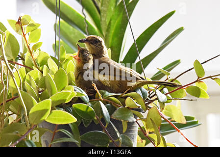 A parent Streak-eared Bulbul (Pycnonotus blandfordi conradi) and it's chick in a garden in Eastern Bangkok - Stock Image
