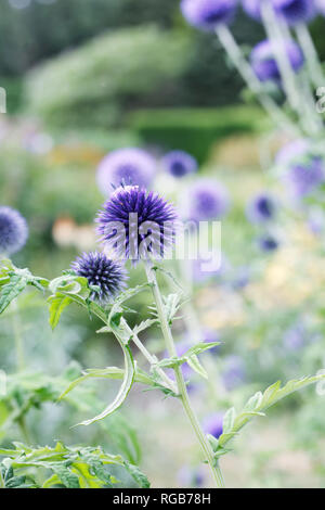 Echinops ritro 'Veitch's Blue' flowers. - Stock Image