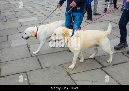 A couple walking led by their calm well-behaved Golden Labrador dogs - Stock Image