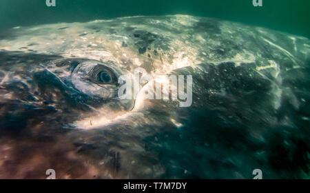 Closup of eye of a Gray whale (Eschrichtius robustus) just under the surface in Baja California Sur, Mexico. - Stock Image