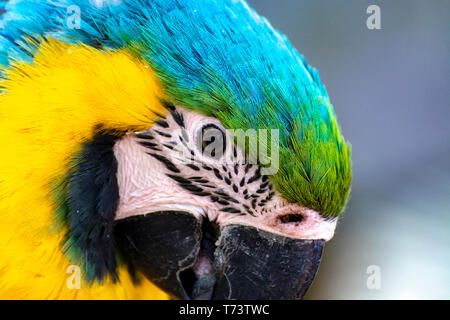 Macaw blue-and-yellow parrot, long-tailed colorful exotic bird  close up - Stock Image