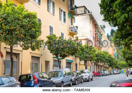 Fruiting Orange trees in urban street,  Santa Margherita Ligure. - Stock Image