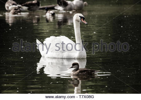 We swans have entered numerous myths and fairy tales - Stock Image