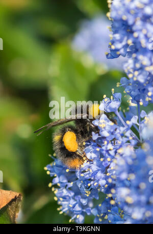 Worker Bombus pratorum (Early Bumblebee) collecting pollen from a Californian lilac (Ceanothus) in Spring (May) in West Sussex, UK. Bee. - Stock Image