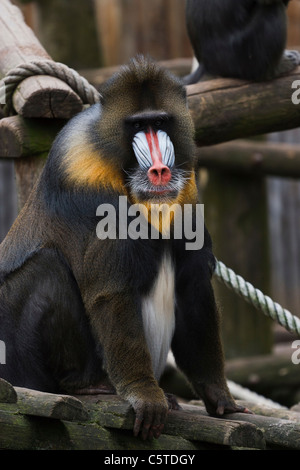 Outdoor image of a Mandrill (Mandrillus sphinx). - Stock Image