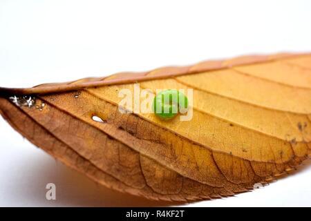 Green Caterpillar on autumn leaf close up macro - Stock Image