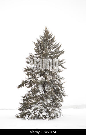 Snow-Covered Evergreen Tree - Stock Image