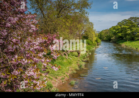 The river Aln at Lesbury, Northumberland, UK in spring - Stock Image