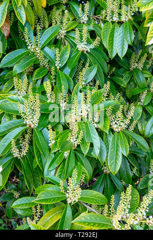 Laurel leaves and flowers in spring - Stock Image