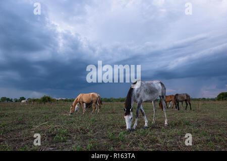 Horses ona pasture in North Pantanal, Brazil - Stock Image