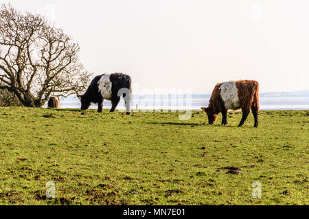 Red belted Galloway cattle in a coastal field near Arnside, UK. April 2018. - Stock Image