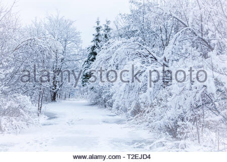 Snow covered trees winter in Rouge National Urban Park in Toronto Ontario Canada - Stock Image