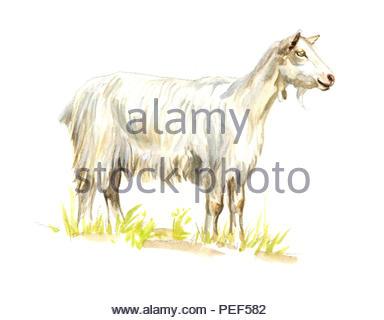 appenzeller goat capra - Stock Image