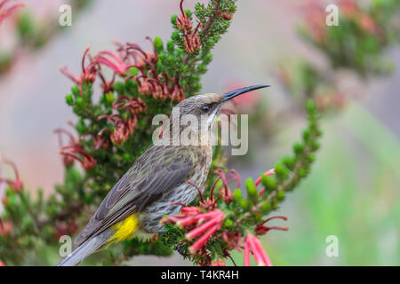 Male Cape sugarbird, Promerops cafer, sitting on a flower, peeking in to the camera, Western cape, South Africa - Stock Image
