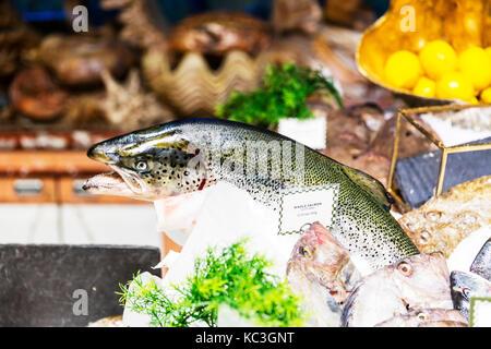 Whole Scottish salmon, Salmon fish, fresh salmon, salmon fish shop, whole salmon fish shop display, fish shop salmon - Stock Image