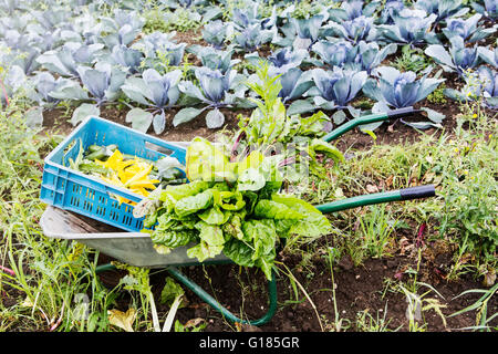 Assortment of harvest in wheelbarrow - Stock Image