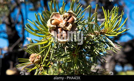 Pinyon nuts bursting out from a cracked cone, the delicious harvest of the pinyon pine tree, South Rim, Grand Canyon, Arizona, USA - Stock Image