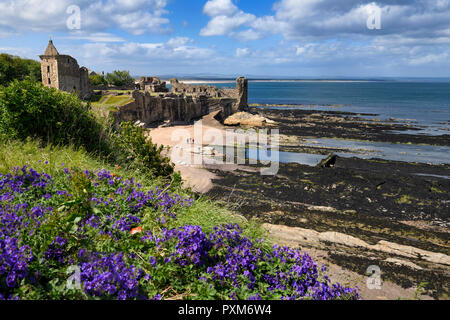 St Andrews Castle ruins on rocky North Sea coast overlooking Castle Sands beach in St Andrews Fife Scotland UK with purple geraniums - Stock Image