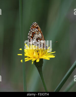 Heath fritillary Feeding on flower wings closed Hungary June 2015 - Stock Image