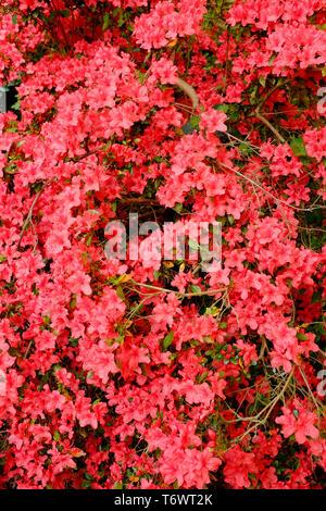 red azalea flowers on large plant, north norfolk, england - Stock Image