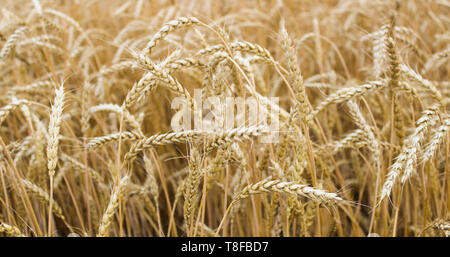 Ears of ripe wheat growing in a wheat field - Stock Image