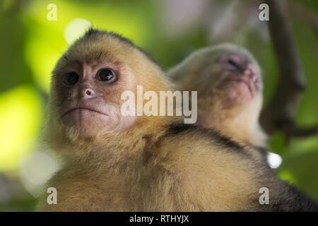 The Panamanian White Headed Capuchin Monkey (Cebus Imitator) in Costarica Manuel Antonio National Park - Stock Image