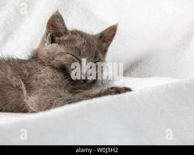 cute domestic kitten lying on white towel. suitable for animal, pet and wildlife themes - Stock Image