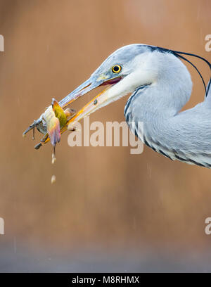 Close-up of a Grey Heron (Ardea cinerea) with a freshly caught catfish - Stock Image