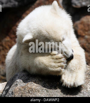 Polar bear cub 'Knut' scratches his head in the sun at Berlin Zoo, Germany, 22 June 2007. Photo: Arno Burgi - Stock Image