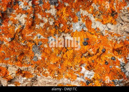 Rock Jewel Lichen, Caloplaca saxicola, Krossfjord, Spitsbergen, Svalbard Archipelago, Arctic Norway - Stock Image