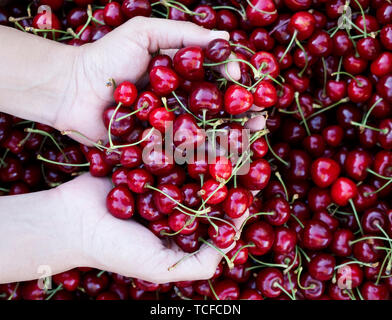 high angle view of a young caucasian man outdoors with a handful of ripe cherries in his hands, freshly collected on an organic orchard - Stock Image