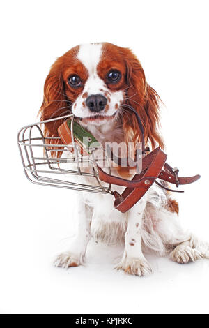 Dog with muzzle. Cavalier king charles spaniel dog photo. Beautiful cute cavalier puppy dog on isolated white studio - Stock Image