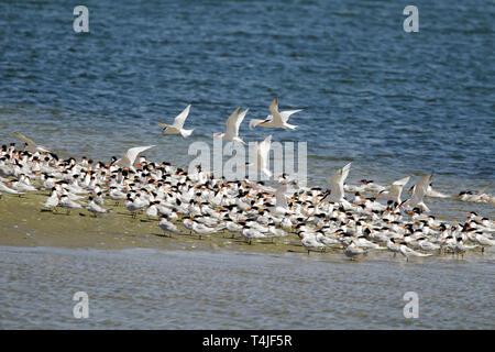 Large Flock of Elegant Terns - Stock Image