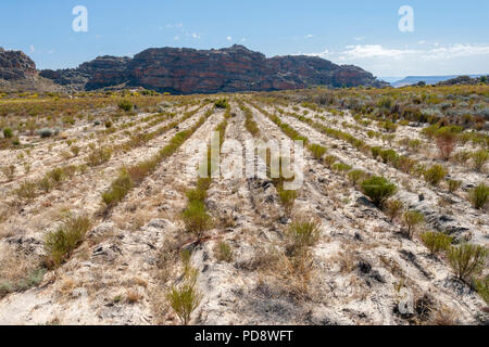 Rooibos plantations in the Cederberg Mountains in South Africa. - Stock Image