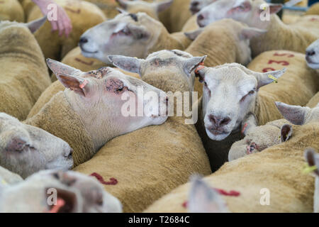 Sheep for auction at the Kelso Ram Sales, held in September at the Events centre, Springwood Park, Kelso Scotland. - Stock Image