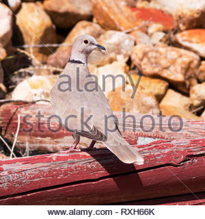 Eurasian Collared-Dove, Streptopelia decaocto, perched on log in Arizona USA - Stock Image