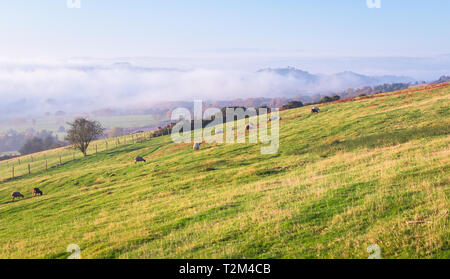 Sheep graze in a grassy field under full sun as low clouds fill the valley. Shropshire, England. - Stock Image