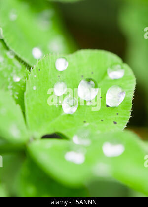 Raindrops on a clover leaf after rain, Madeira island, Portugal. Close up. - Stock Image