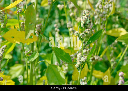Fat-hen (chenopodium album), close up of a flowering stem showing leaves. - Stock Image