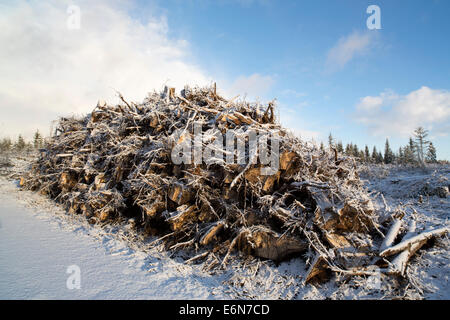 Energy wood ( tree stumps and roots ) collected from a clear cutting area and later burned in power plants , Finland - Stock Image