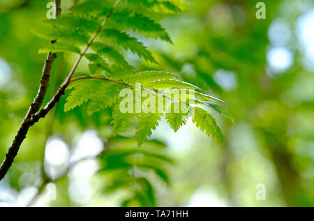 close up of ash tree leaves, norfolk, england - Stock Image