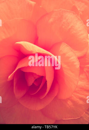 Floral Backgrounds - Begonia - Stock Image