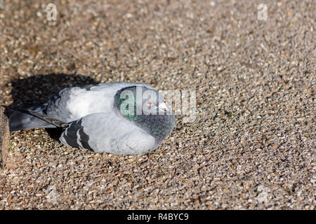 A feral pigeon (columba livia domestica) or rock dove sitting or lying down huddled up in the sun on the ground on a sunny autumn day - Stock Image