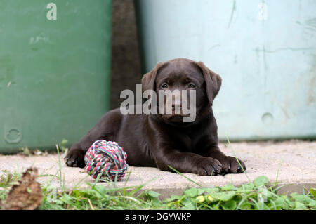 Brown Labrador Retriever, puppy lying on a concrete floor next to a ball - Stock Image
