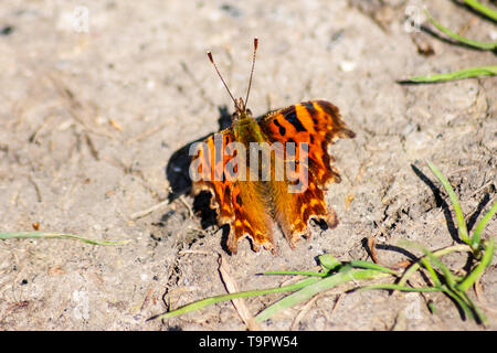 A Comma butterfly (Polygonia c-album) with its wings open in the spring sun on a patch of dried ground - Stock Image