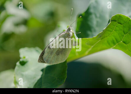 Large white butterfly, laying eggs, Pieris brassicae on cabbage, Spain. - Stock Image